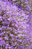 light purple pentas flowers Stock Images