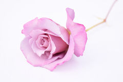 Light purple/pink rose Royalty Free Stock Photography
