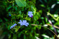 Light purple plumbago Royalty Free Stock Photo