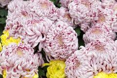 Light purple red chrysanthemum, adobe rgb royalty free stock photo