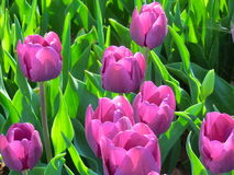 Light purple tulip. In bloom Royalty Free Stock Image