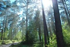 Light rays. Bright light rays through tall trees Royalty Free Stock Photo