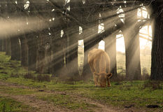 light rays Cow eating grass Stock Photo