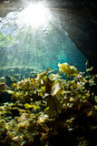 Light rays falling on lily pads in a cenote. Lily pads photographed from underwater at a cenote in Mexico Stock Photo