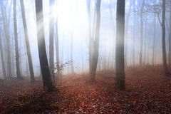 Light rays into fogy forest Stock Image