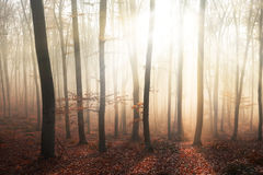 Light rays into fogy forest Royalty Free Stock Photos
