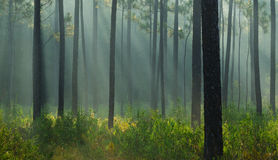 Light Rays in the Forest Royalty Free Stock Photography