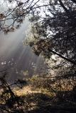 Light rays. In the morning forest Royalty Free Stock Photo
