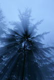 Light rays shining through misty blue fog and tall pine trees, b Royalty Free Stock Images