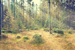 Light rays among  trees Royalty Free Stock Images
