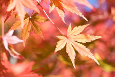 Light red autumn maple leaf Royalty Free Stock Images