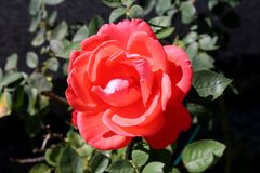 Light red blooming rose with dense fully open petals on dark green leaves background planted in local garden royalty free stock images