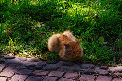 Light Red Cat on Green Grass Royalty Free Stock Images