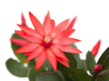 Light red christmas cactus Stock Images