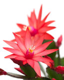 Light red christmas cactus Royalty Free Stock Image