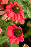 Light red Echinacea flower in bloom Royalty Free Stock Image