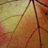 Light through a Red grape Ivy autumn leaf veins Royalty Free Stock Photography