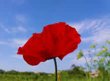 Light red poppy. Against the blue sky Royalty Free Stock Photos