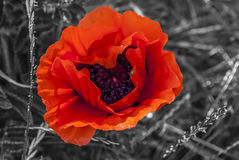 Light Red Poppy. Macro - background in gray scale royalty free stock images