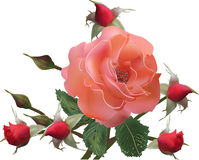 Light red rose and five buds isolated on white Royalty Free Stock Photos