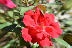 Light red Rose flower in a the morning sunlight Royalty Free Stock Photo