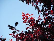 Light Through Red Tree royalty free stock photography