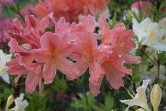 Light-red and white azalea flowers. Rhododendron bush in garden. Beautiful flowers. Beautiful spring flowers stock photo