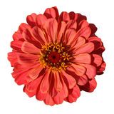 Light red zinnia isolated on white background Stock Image