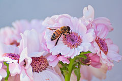 Light rosa flowers in summer with a bee. Light rosa  flowers with a bee Stock Images