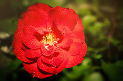 Light Rose. A beautiful red rose in the morning dew Royalty Free Stock Photos