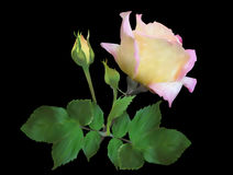 Light rose bloom with green leaves on black Royalty Free Stock Photography