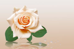 Light rose with drop. Light rose with green sheet and drop royalty free stock photo