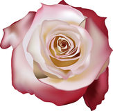 Light rose with red edge Royalty Free Stock Image