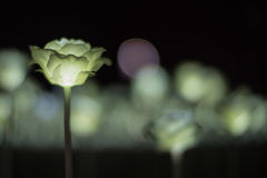 Light Roses. A Light Rose Glowing in the Dark Stock Photos