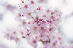 Light Sakura bloom close up with soft focus Royalty Free Stock Image
