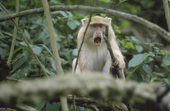 Light Samango Monkey, mouth open, South Africa Stock Photos