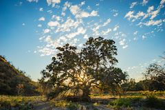 Sun Light in Oak Tree. Light from the setting sun streams down a California valley between branches of an oak tree Royalty Free Stock Image