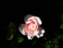 Light and shadow accenting a pink rose royalty free stock images