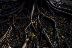 Light and shadow of banyan tree Roots on the forest ground for n Stock Photo