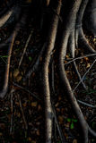 Light and shadow of banyan tree Roots on the forest ground for n Stock Images