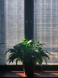 Light and shadow. The flower on the windowsill and rays of sun stock images