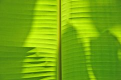Light and shadow of green banana leaf. Details of light and shadow drop on green banana leaf texture royalty free stock photos