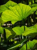 Light and shadow of green lotus leaves Stock Photography