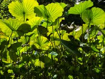 Light and shadow of green lotus leaves Stock Image