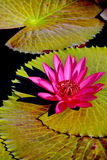 Light and shadow to match. There are many water lily, it's actually yan.But most red Royalty Free Stock Photo