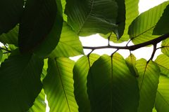 Light and shadow underneath green leaves tropical tree branch ov. Er white, abstract nature texture background stock images