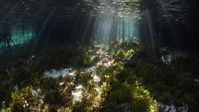 Light and Shadows in Mangrove. Beams of sunlight shine into a dark mangrove forest in Raja Ampat, Indonesia. This tropical region is known for its extraordinary stock footage
