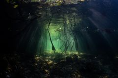 Light and Shadows in Raja Ampat Mangrove Forest. Sunlight illuminates some of the dark recesses in a blue water mangrove forest in Raja Ampat, Indonesia Royalty Free Stock Image