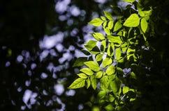 Light shine at leaf on tree Royalty Free Stock Photos
