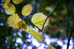Light shines through autumn leaves at English parkland Royalty Free Stock Photography
